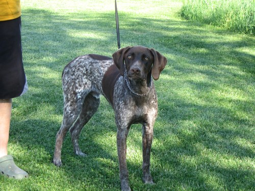 Started German Shorthair Available